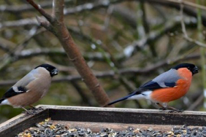 Bullfinch email and male